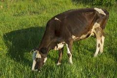 Koe op een groene weide Stock Foto's