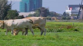 Koe op een landbouwbedrijf stock footage