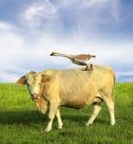 Koe op gebied met gans Stock Afbeeldingen