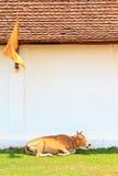 Koe op gras Stock Foto's