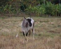Koe op groen gebied Stock Foto