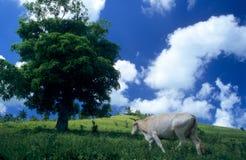 Koe op groen gebied bij Dominicaanse republiek Stock Afbeeldingen