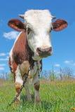 Koe op groen gras Royalty-vrije Stock Afbeeldingen