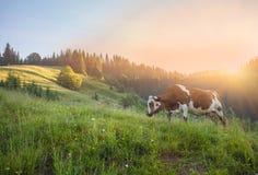 Koe op groene weide De samenstelling van de aard stock afbeelding