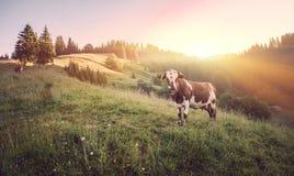 Koe op groene weide De samenstelling van de aard stock fotografie