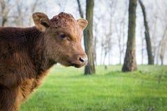 Koe op Groene Weilandachtergrond Stock Foto