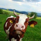 Koe op het de lenteweiland Stock Fotografie