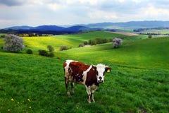 Koe op het de lenteweiland stock foto