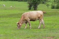 Koe op het gebied Stock Foto