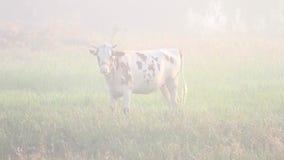 Koe op het gebied in mistige ochtend stock videobeelden