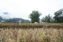 Koe op het gebied van rijstterrassen in Mae Klang Luang, Chiang Mai, Thailand Royalty-vrije Stock Foto's