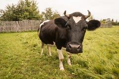 Koe op het gras Royalty-vrije Stock Foto's