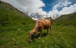 Koe op het groene gebied in de bergen. Stock Foto's