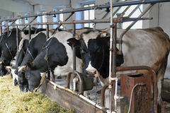 Koe op het landbouwbedrijf Royalty-vrije Stock Afbeeldingen