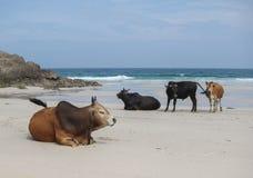 Koe op het strand Royalty-vrije Stock Afbeeldingen