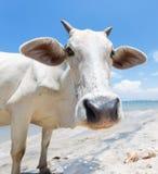 Koe op het strand in Azië stock fotografie