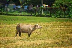 Koe op het weiland Stock Foto