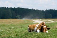 Koe op het weiland Stock Afbeeldingen