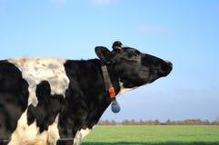 Koe op landbouwgrond Stock Afbeeldingen