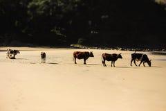 Koe op strand 3 royalty-vrije stock fotografie