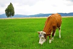 Koe op weide Stock Afbeelding