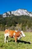 Koe op weide in de Alpen, Mariazell, Oostenrijk royalty-vrije stock foto's