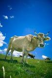 Koe op weiland stock fotografie