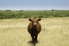 Koe in prairie Stock Afbeeldingen