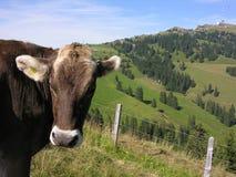 Koe in Rigi Kulm Royalty-vrije Stock Afbeelding