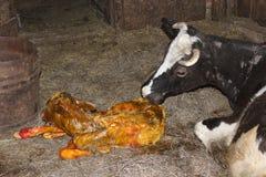 Koe schoon likken zijn enkel pasgeboren kalf stock fotografie