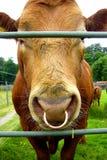 Koe in Schotland stock afbeeldingen
