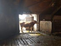 Koe in schuur op landbouwbedrijf Royalty-vrije Stock Fotografie