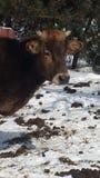 Koe in Sneeuw Stock Foto