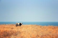Koe, steppe en overzees Royalty-vrije Stock Fotografie