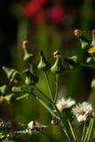 Koe-tarwe Wilde bloem Stock Afbeeldingen
