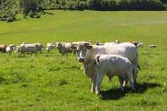 Koe van Charolais dreef op het weiland stock afbeelding
