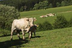 Koe van Charolais dreef op het weiland royalty-vrije stock afbeelding