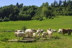 Koe van Charolais dreef op het weiland royalty-vrije stock foto's