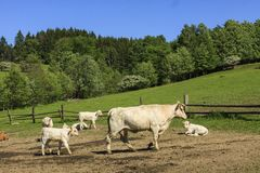 Koe van Charolais dreef op het weiland royalty-vrije stock foto