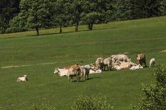 Koe van Charolais dreef op het weiland stock foto
