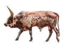 Koe van de Watusi de grote os Stock Afbeelding
