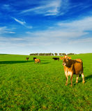 Koe in Weide Stock Afbeelding