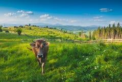 Koe in weide 1 Royalty-vrije Stock Afbeeldingen