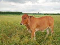Koe in weide Royalty-vrije Stock Afbeelding