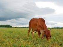 Koe in weide Stock Afbeeldingen