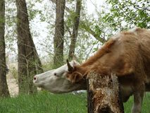 Koe in weiland Royalty-vrije Stock Foto