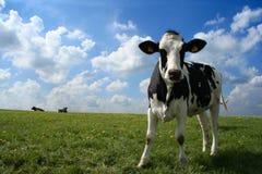 Koe in weiland Stock Afbeelding