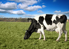 Koe in weiland Royalty-vrije Stock Afbeelding