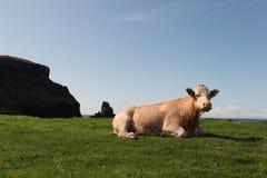 Koe in weiland Stock Foto's