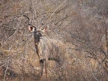 Koedoe salvaje en arbusto Fotos de archivo libres de regalías